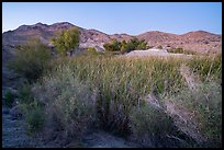 Desert riparian environment in Bonanza Springs. Mojave Trails National Monument, California, USA ( color)
