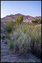 Plants and trees in Bonanza Springs at dusk. Mojave Trails National Monument, California, USA ( color)