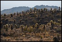 Bigelow Cholla cactus on ridge. Mojave Trails National Monument, California, USA ( color)