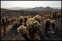 Bigelow Cholla Garden Wilderness. Mojave Trails National Monument, California, USA ( color)