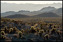 Bigelow Cholla cacti and Sacramento Mountains. Mojave Trails National Monument, California, USA ( color)