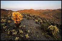 Bigelow Cholla Garden Wilderness at sunset. Mojave Trails National Monument, California, USA ( color)