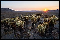 Sunset over dense stands of Bigelow Cholla cactus (Opuntia bigelovii). Mojave Trails National Monument, California, USA ( color)