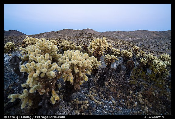 Bigelow Cholla cactus (Opuntia bigelovii) at dusk. Mojave Trails National Monument, California, USA (color)