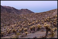 Slopes with Jumping Cholla cactus at twilight. Mojave Trails National Monument, California, USA ( color)