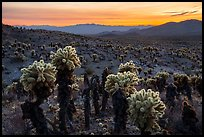 Bigelow Cholla cactus and Sacramento Mountains at sunset. Mojave Trails National Monument, California, USA ( color)