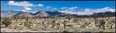 Mojave Desert landscape with Joshua trees and mountains. Mojave National Preserve, California, USA (color)