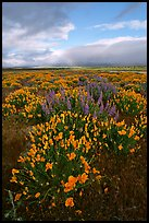 Lupines and California Poppies. Antelope Valley, California, USA ( color)