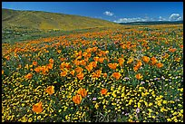 California Poppies and desert Marygold, hills W of the Preserve. Antelope Valley, California, USA (color)