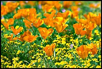 Close up of California Poppies. Antelope Valley, California, USA ( color)