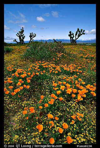 California Poppies and Joshua Trees. Antelope Valley, California, USA (color)