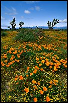 California Poppies and Joshua Trees. Antelope Valley, California, USA ( color)