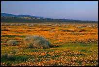 Meadow covered with poppies, sage bushes, and Tehachapi Mountains at sunset. Antelope Valley, California, USA ( color)