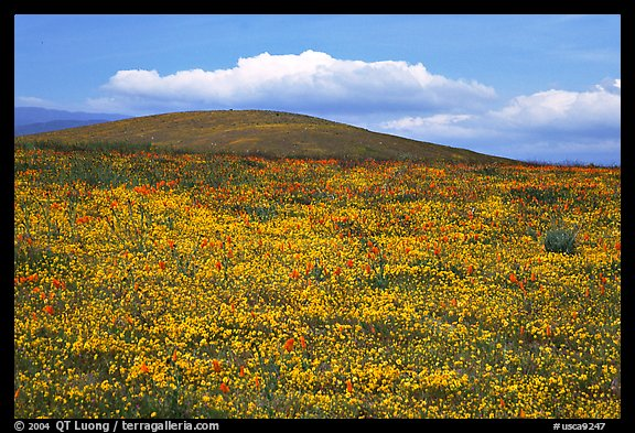 Hills W of the Preserve, covered with multicolored flowers. Antelope Valley, California, USA (color)