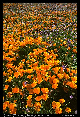 Field of California Poppies and purple flowers. Antelope Valley, California, USA (color)