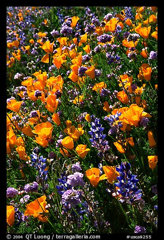 Close up of backlit poppies, lupine, and purple flowers. Antelope Valley, California, USA (color)
