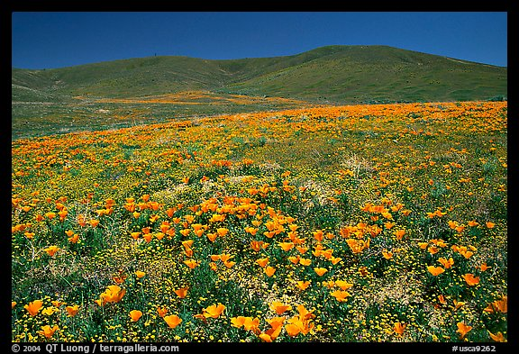 Hillside covered with California Poppies and Desert Marygold. Antelope Valley, California, USA (color)