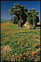Joshua trees and California Poppies. Antelope Valley, California, USA (color)
