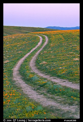 Curvy tire tracks in a wildflower meadow. Antelope Valley, California, USA (color)