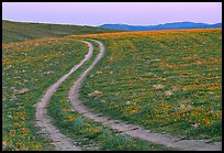 Curvy tire tracks in a wildflower meadow. Antelope Valley, California, USA ( color)