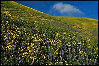 Carpet of yellow and purple flowers, Gorman Hills. California, USA (color)