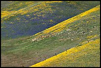 Yellow flowers delineating ridges, Gorman Hills. California, USA ( color)