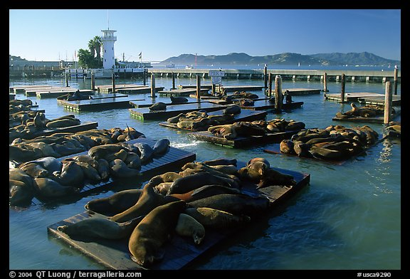California Sea Lions at Pier 39, late afternoon. San Francisco, California, USA