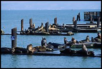 Sea Lions, Fisherman's Wharf. San Francisco, California, USA ( color)