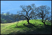 Dendritic branches of Oak trees on hillside curve, early spring, Joseph Grant County Park. San Jose, California, USA