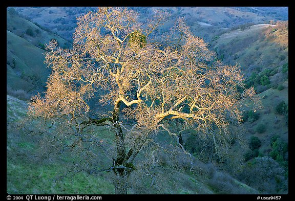 Oak tree with mistletoe at sunset, Joseph Grant County Park. San Jose, California, USA (color)
