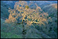 Oak tree with mistletoe at sunset, Joseph Grant County Park. San Jose, California, USA