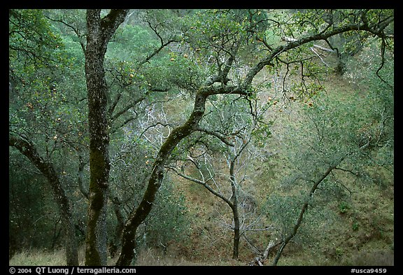 Oak Trees, Sunol Regional Park. California, USA (color)
