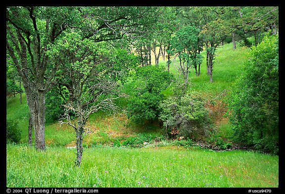 Meadow with flowers,  creek, and trees in spring, Mt Diablo State Park. California, USA