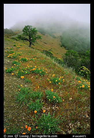 Poppies and fog near the summit, Mt Diablo State Park. California, USA