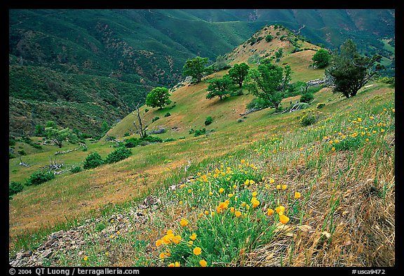 Poppies and ridge, Mt Diablo State Park. California, USA (color)