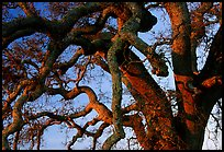 Branches of Old Oak tree  at sunset, Joseph Grant County Park. San Jose, California, USA ( color)