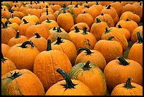 Pumpkins in a patch, near Pescadero. San Mateo County, California, USA ( color)