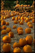 Pumpkin patch. San Jose, California, USA ( color)