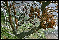 Carotene-covered cypress in fog, Allan Memorial Grove. Point Lobos State Preserve, California, USA ( color)