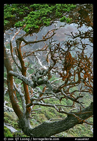 Trees covered with Carotene, Allan Memorial Grove. Point Lobos State Preserve, California, USA (color)