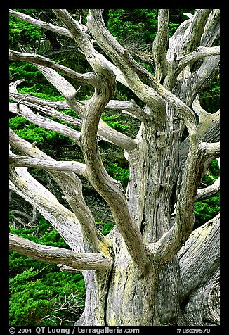 Tree skeleton. Point Lobos State Preserve, California, USA (color)