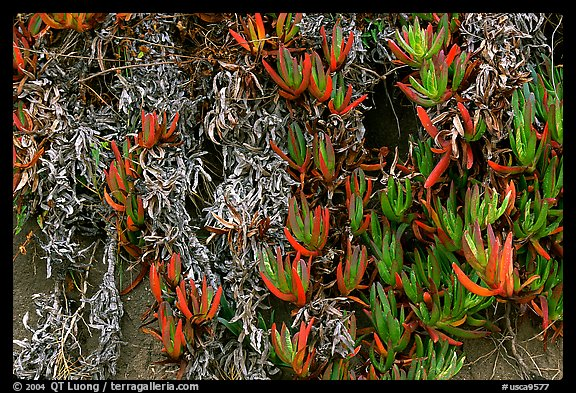 Ice plant. Carmel-by-the-Sea, California, USA (color)