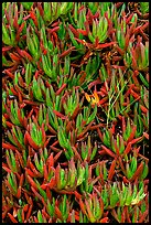 Ice plant. Carmel-by-the-Sea, California, USA