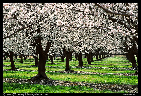 Orchards trees in blossom, Central Valley. California, USA (color)