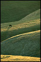 Cow on hilly pasture, Southern Sierra Foothills. California, USA ( color)