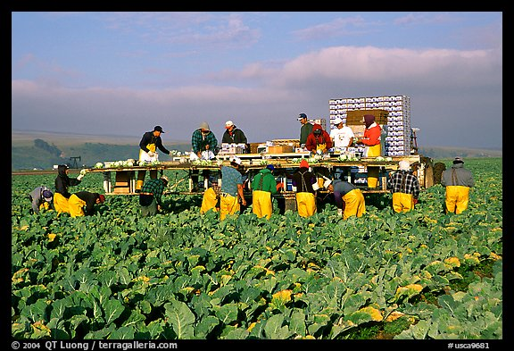 Farm workers picking up salads, Salinas Valley. California, USA (color)