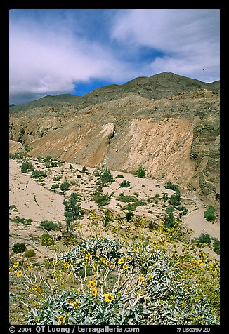 Yellow desert wildflowers, San Ysidro Mountains. Anza Borrego Desert State Park, California, USA (color)