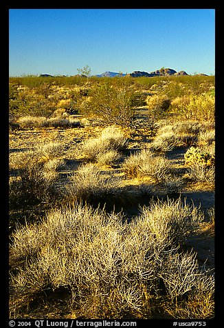 Desert grasslands. Mojave National Preserve, California, USA (color)