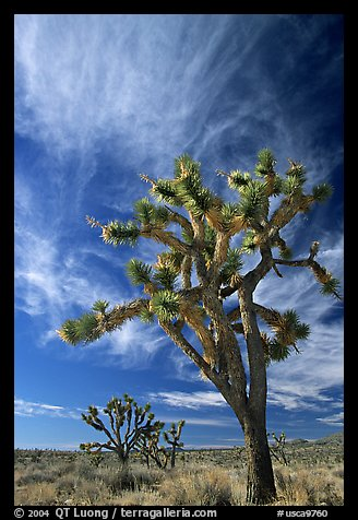 Joshua Trees and clouds. Mojave National Preserve, California, USA (color)