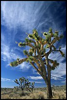 Joshua Trees and clouds. Mojave National Preserve, California, USA ( color)